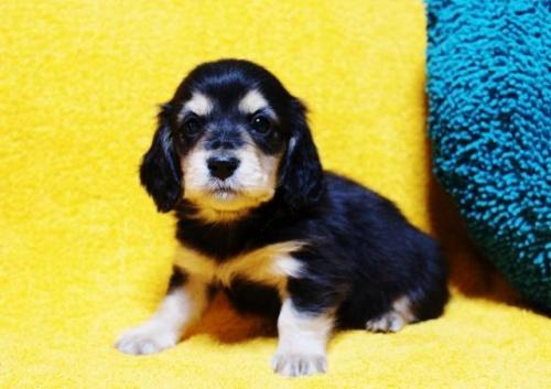 ミニチュアダックスフンド(ロング)の子犬(ID:1246811073)の3枚目の写真/更新日:2017-02-22