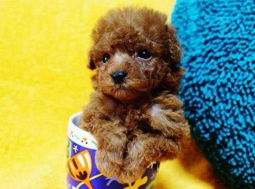 トイプードルの子犬(ID:1246811074)の1枚目の写真/更新日:2017-05-09