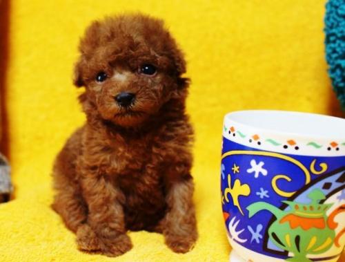 トイプードルの子犬(ID:1246811074)の2枚目の写真/更新日:2017-05-09