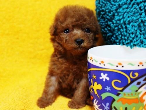 トイプードルの子犬(ID:1246811074)の3枚目の写真/更新日:2017-05-09