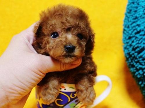 トイプードルの子犬(ID:1246811075)の1枚目の写真/更新日:2017-05-15