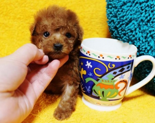 トイプードルの子犬(ID:1246811075)の2枚目の写真/更新日:2017-05-15
