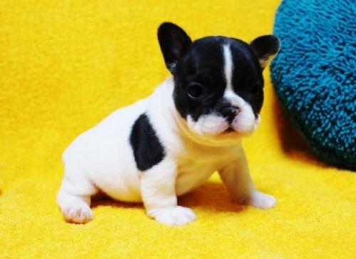 フレンチブルドッグの子犬(ID:1246811077)の2枚目の写真/更新日:2017-05-20