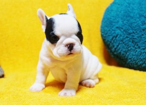 フレンチブルドッグの子犬(ID:1246811078)の2枚目の写真/更新日:2017-05-20