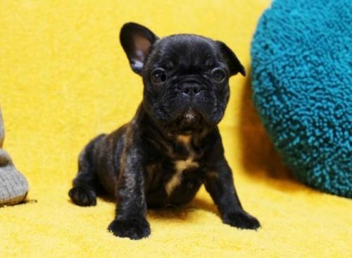 フレンチブルドッグの子犬(ID:1246811079)の2枚目の写真/更新日:2017-05-20