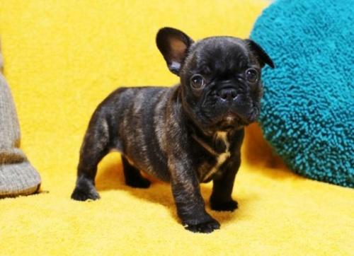 フレンチブルドッグの子犬(ID:1246811079)の3枚目の写真/更新日:2017-05-20
