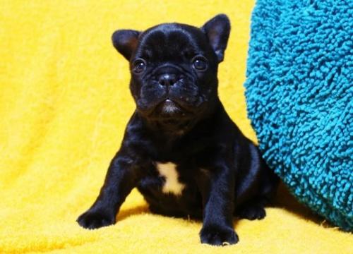 フレンチブルドッグの子犬(ID:1246811083)の1枚目の写真/更新日:2017-06-26