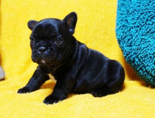 フレンチブルドッグの子犬(ID:1246811083)の2枚目の写真/更新日:2017-06-26