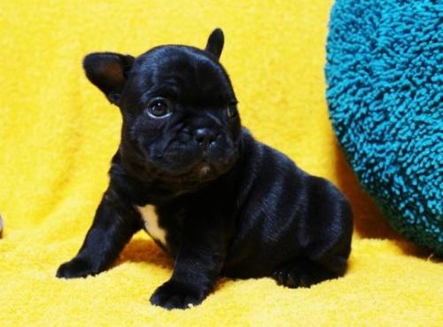 フレンチブルドッグの子犬(ID:1246811083)の3枚目の写真/更新日:2017-06-26