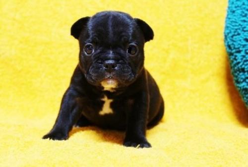 フレンチブルドッグの子犬(ID:1246811084)の1枚目の写真/更新日:2017-06-26