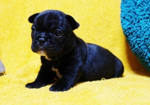 フレンチブルドッグの子犬(ID:1246811084)の2枚目の写真/更新日:2017-06-26