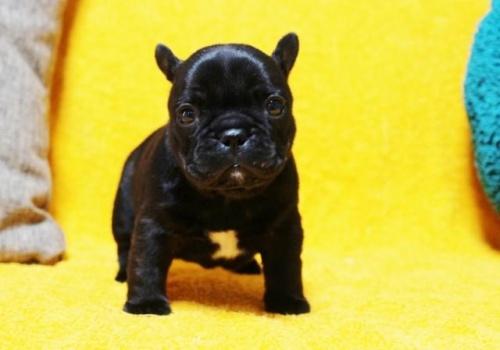 フレンチブルドッグの子犬(ID:1246811084)の3枚目の写真/更新日:2017-06-26