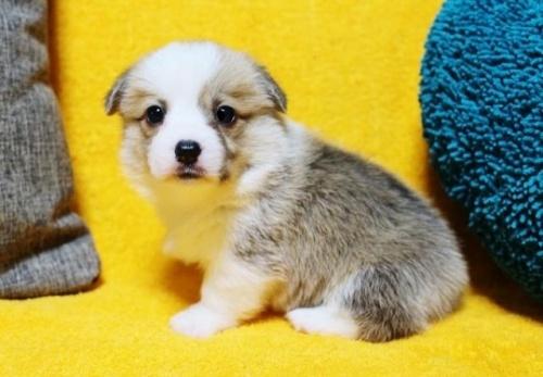 ウェルシュ・コーギー・ペンブロークの子犬(ID:1246811085)の1枚目の写真/更新日:2017-07-21