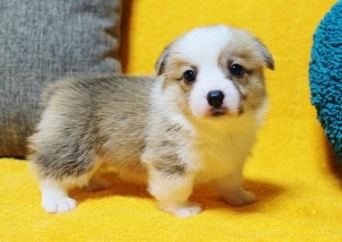 ウェルシュ・コーギー・ペンブロークの子犬(ID:1246811085)の2枚目の写真/更新日:2017-07-21