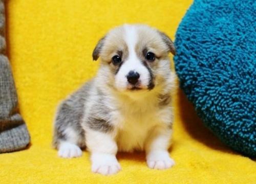 ウェルシュ・コーギー・ペンブロークの子犬(ID:1246811086)の1枚目の写真/更新日:2017-07-21