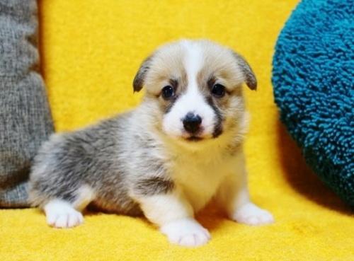 ウェルシュ・コーギー・ペンブロークの子犬(ID:1246811086)の2枚目の写真/更新日:2017-07-21