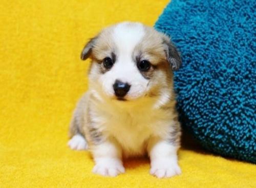 ウェルシュ・コーギー・ペンブロークの子犬(ID:1246811087)の1枚目の写真/更新日:2017-07-21
