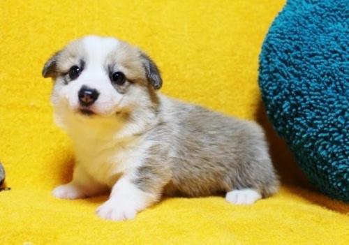 ウェルシュ・コーギー・ペンブロークの子犬(ID:1246811087)の2枚目の写真/更新日:2017-07-21