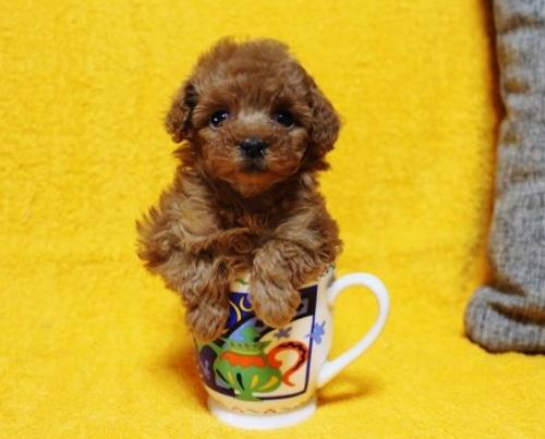 トイプードルの子犬(ID:1246811088)の1枚目の写真/更新日:2017-12-22