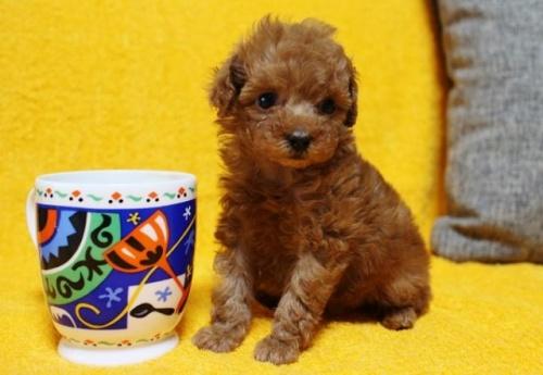 トイプードルの子犬(ID:1246811088)の2枚目の写真/更新日:2017-12-22