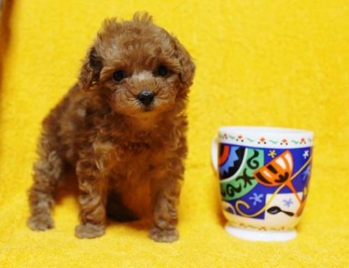 トイプードルの子犬(ID:1246811088)の3枚目の写真/更新日:2017-12-22