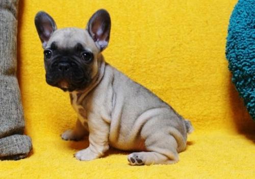 フレンチブルドッグの子犬(ID:1246811090)の1枚目の写真/更新日:2018-01-08