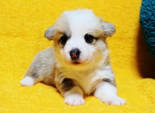 ウェルシュ・コーギー・ペンブロークの子犬(ID:1246811091)の1枚目の写真/更新日:2018-03-28