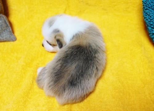 ウェルシュ・コーギー・ペンブロークの子犬(ID:1246811091)の2枚目の写真/更新日:2018-03-28