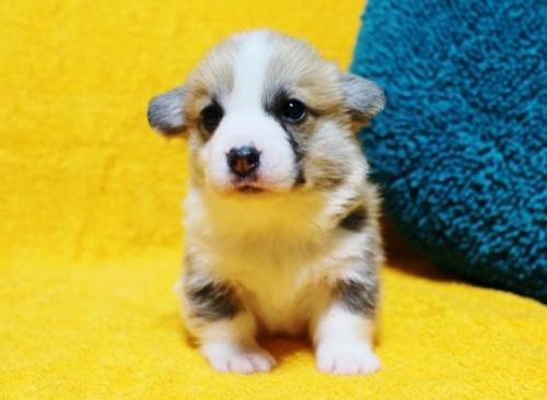 ウェルシュ・コーギー・ペンブロークの子犬(ID:1246811092)の1枚目の写真/更新日:2018-03-28