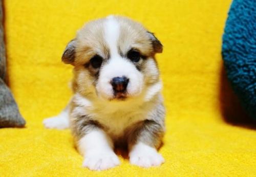 ウェルシュ・コーギー・ペンブロークの子犬(ID:1246811093)の1枚目の写真/更新日:2018-03-28