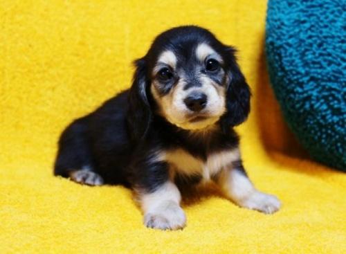 ミニチュアダックスフンド(ロング)の子犬(ID:1246811094)の1枚目の写真/更新日:2018-04-16