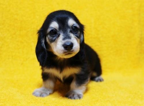 ミニチュアダックスフンド(ロング)の子犬(ID:1246811094)の2枚目の写真/更新日:2018-04-16