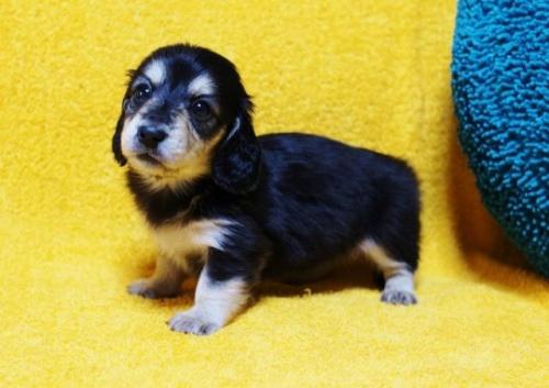 ミニチュアダックスフンド(ロング)の子犬(ID:1246811095)の1枚目の写真/更新日:2018-04-16