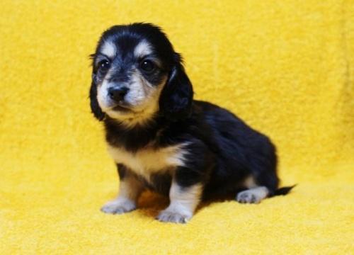 ミニチュアダックスフンド(ロング)の子犬(ID:1246811095)の3枚目の写真/更新日:2018-04-16
