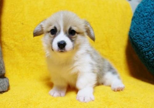 ウェルシュ・コーギー・ペンブロークの子犬(ID:1246811096)の1枚目の写真/更新日:2019-05-28