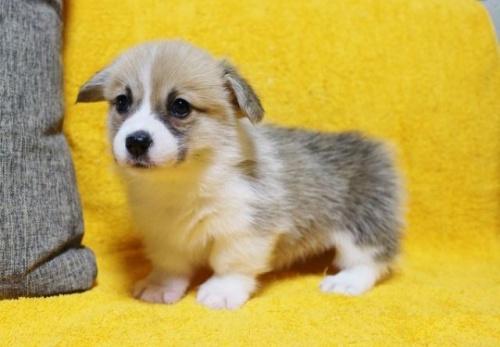 ウェルシュ・コーギー・ペンブロークの子犬(ID:1246811096)の2枚目の写真/更新日:2019-05-28