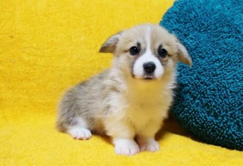 ウェルシュ・コーギー・ペンブロークの子犬(ID:1246811096)の3枚目の写真/更新日:2019-05-28