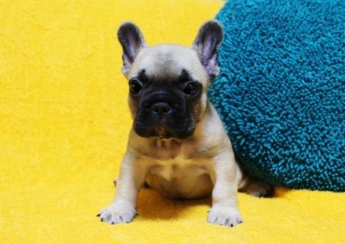 フレンチブルドッグの子犬(ID:1246811101)の1枚目の写真/更新日:2020-07-09