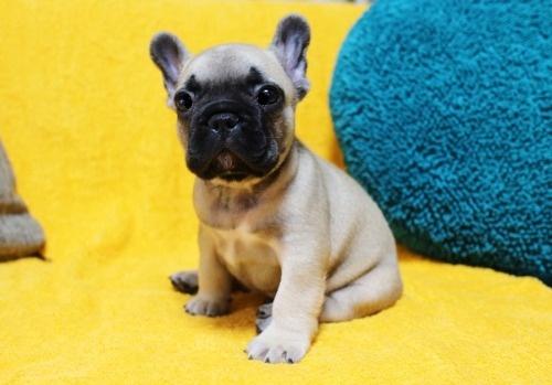 フレンチブルドッグの子犬(ID:1246811101)の2枚目の写真/更新日:2020-07-09