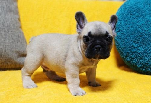 フレンチブルドッグの子犬(ID:1246811101)の3枚目の写真/更新日:2020-07-09
