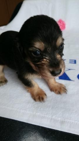 カニンヘンダックスフンド(ロング)の子犬(ID:1247011001)の1枚目の写真/更新日:2018-07-19