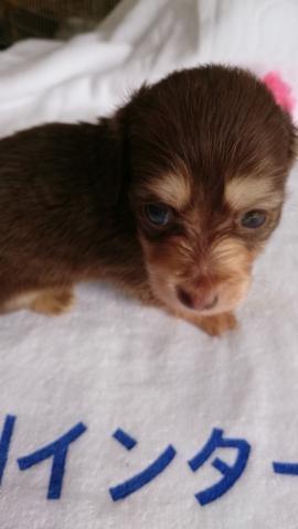 カニンヘンダックスフンド(ロング)の子犬(ID:1247011003)の1枚目の写真/更新日:2018-07-19