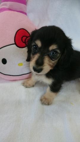 カニンヘンダックスフンド(ロング)の子犬(ID:1247011007)の2枚目の写真/更新日:2018-07-31