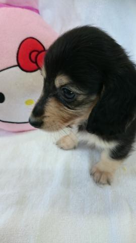 カニンヘンダックスフンド(ロング)の子犬(ID:1247011007)の4枚目の写真/更新日:2018-07-31