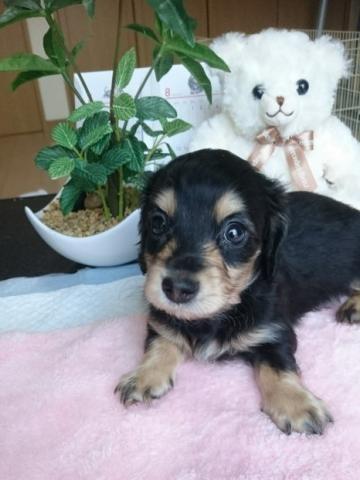 カニンヘンダックスフンド(ロング)の子犬(ID:1247011008)の1枚目の写真/更新日:2018-08-09