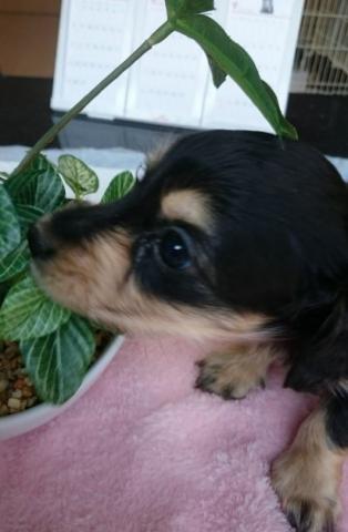 カニンヘンダックスフンド(ロング)の子犬(ID:1247011008)の2枚目の写真/更新日:2018-08-09