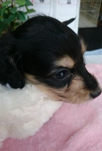 カニンヘンダックスフンド(ロング)の子犬(ID:1247011008)の3枚目の写真/更新日:2018-08-09