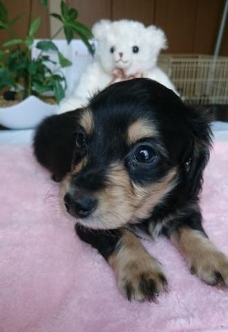 カニンヘンダックスフンド(ロング)の子犬(ID:1247011008)の4枚目の写真/更新日:2018-08-09
