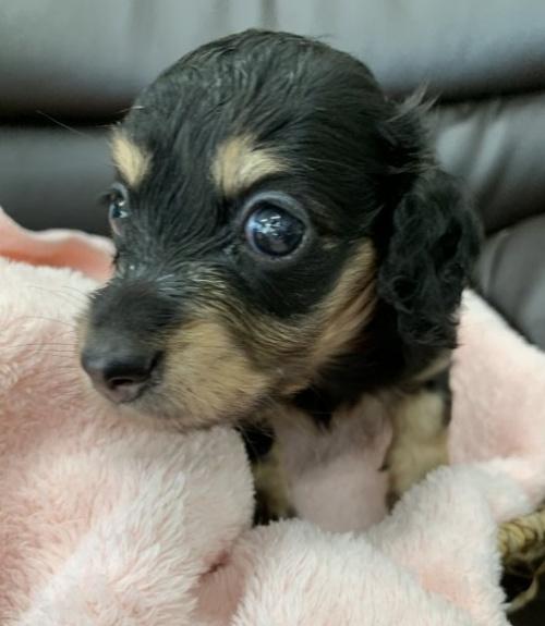カニンヘンダックスフンド(ロング)の子犬(ID:1247011011)の1枚目の写真/更新日:2019-09-09