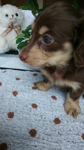 カニンヘンダックスフンド(ロング)の子犬(ID:1247011012)の2枚目の写真/更新日:2018-08-09